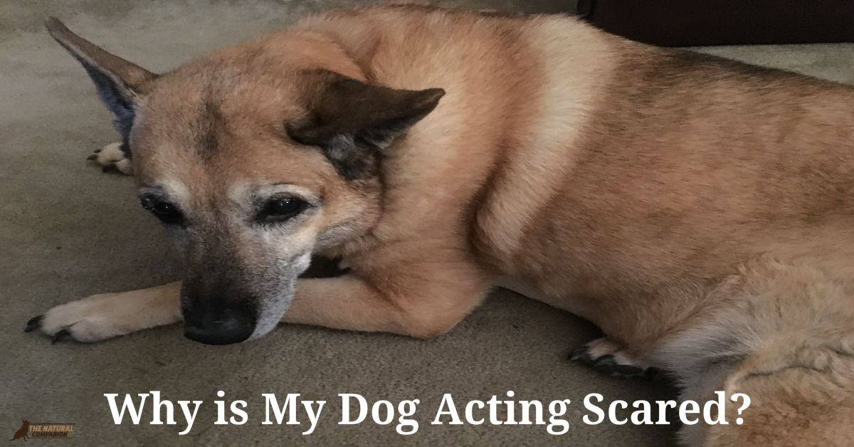 Why is My Dog Acting Scared?